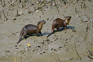 Small-clawed otter (Aonyx cinerea) two on riverbank, Sundarbans East Wildlife Sanctuary, Bangladesh  -  Dr. Gertrud Neumann-Denzau
