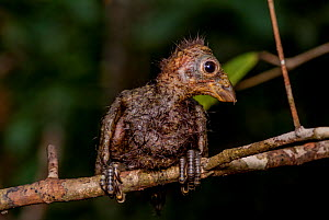 Hoatzin (Opisthocomus hoazin) chick perched on branch showing claws on wings. The claws are a vestigial feature which is lost by adulthood. Rio Yavari, Peru (non-ex)  -  Mark  Bowler