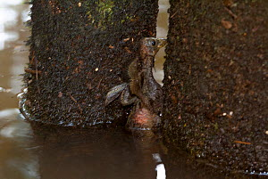 Hoatzin (Opisthocomus hoazin) chick climbing out of water using claws on wings. The claws are a vestigial feature which is lost by adulthood. Rio Yavari, Peru (non-ex) - Mark  Bowler