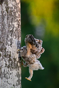 Ural owl (Strix uralensis) chick trying to climb an aspen tree with its beak, talons and wings, Southern Estonia. June. Sequence 10 of 11 - Sven  Zacek