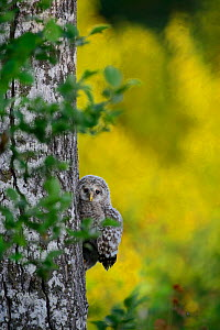 Ural owl (Strix uralensis) chick trying to climb an aspen tree with its beak, talons and wings, Southern Estonia. June. Sequence 4 of 11  -  Sven  Zacek