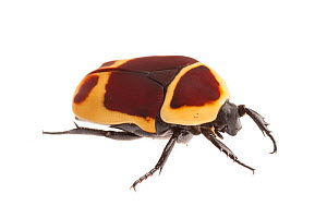 Sun beetle (Pachnoda marginata peregrina) photographed on a white background. Captive, originating from west and central Africa.  -  Alex  Hyde