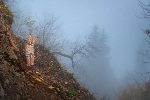 Wild European lynx (Lynx lynx) photographed with remote camera in the mist,  Jura Mountains, Switzerland. Contact us to download file � minimum fees apply.  -  Laurent Geslin