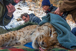 Scientists with anaesthetized Eurasian lynx (Lynx lynx) caught as part of translocation and reintroduction project, Switzerland, March. - Laurent Geslin