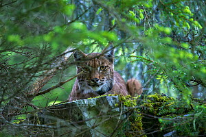 Wild female European lynx (Lynx lynx) with radio collar watching biologists who are tagging her cubs, swiss Alps, Switzerland. Contact us to download file � minimum fees apply. - Laurent Geslin