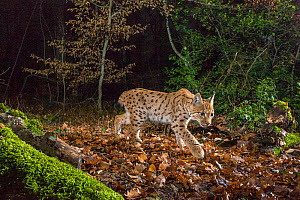 Wild European lynx (Lynx lynx) in forest at night, Jura Mountains, Switzerland. Contact us to download file � minimum fees apply. - Laurent Geslin