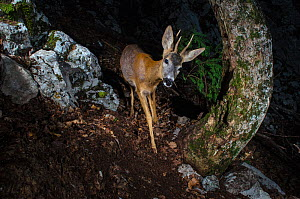 Roe deer (Capreolus capreolus) remote camera image, Jura Mountains, Switzerland. May.  -  Laurent Geslin