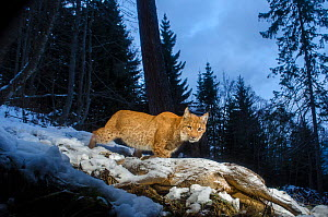 Wild European lynx (Lynx lynx) with a radio collar, coming back to feed on Roe deer (Capreolus capreolus)  killed 2 days earlier, Simmental valley, Switzerland. November. Contact us to download file �...  -  Laurent Geslin
