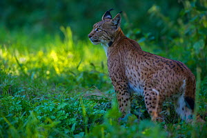 Wild Eurasian lynx (Lynx lynx) Switzerland. August  Contact us to download file � minimum fees apply.  -  Laurent Geslin