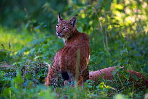 Wild Eurasian lynx (Lynx lynx) with prey, Switzerland. August. Contact us to download file � minimum fees apply.  -  Laurent Geslin