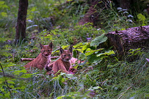 Wild European lynx (Lynx lynx) cubs resting near Roe deer carcass (Capreolus capreolus) in the swiss Alps, Switzerland.  Contact us to download file � minimum fees apply.  -  Laurent Geslin
