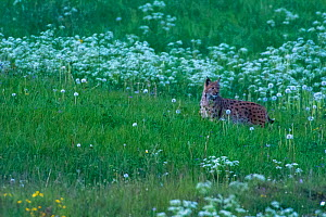 Wild Eurasian lynx (Lynx lynx) in grass, Jura Mountains, Switzerland. May. Contact us to download file � minimum fees apply.  -  Laurent Geslin