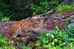 Wild Eurasian lynx (Lynx lynx) with wild boar (Sus scrofa) prey, Jura Mountains, Switzerland. August. Contact us to download file � minimum fees apply.  -  Laurent Geslin
