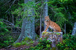 Wild female European lynx (Lynx lynx) on stump, Jura mountains in Switzerland. August.  Contact us to download file � minimum fees apply.  -  Laurent Geslin