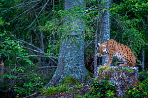 Wild female European lynx (Lynx lynx) grooming on tree stump, Jura mountains in Switzerland. August.  Contact us to download file � minimum fees apply.  -  Laurent Geslin