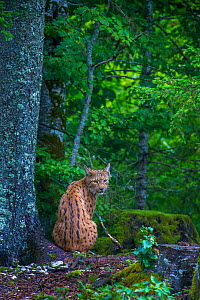 Wild female European lynx (Lynx lynx) sitting in forest, Jura Mountains, Switzerland. Contact us to download file � minimum fees apply.  -  Laurent Geslin