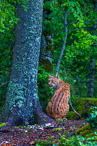 Wild female European lynx (Lynx lynx) sitting rear view in forest, Jura Mountains, Switzerland. Contact us to download file � minimum fees apply.  -  Laurent Geslin