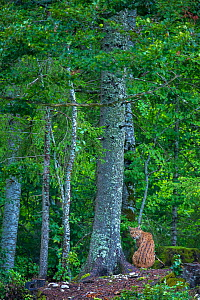 Wild female European lynx (Lynx lynx) Jura Mountains, Switzerland. Contact us to download file � minimum fees apply.  -  Laurent Geslin