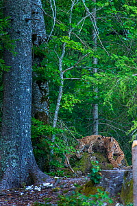 Wild female European lynx  (Lynx lynx), with her 3 cubs (around age 3 months),  Jura Mountains, Switzerland. Contact us to download file � minimum fees apply.  -  Laurent Geslin