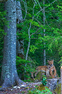 Wild female European lynx (Lynx lynx) female with kitten on tree stump, Jura Mountains, Switzerland. Contact us to download file � minimum fees apply.  -  Laurent Geslin