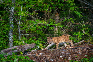Wild Eurasian lynx (Lynx lynx) female, Jura Mountains, Switzerland. August. Contact us to download file � minimum fees apply.  -  Laurent Geslin