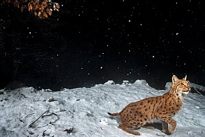 Wild Eurasian lynx (Lynx lynx) in snow at night, remote camera image, Jura Mountains, Switzerland. March. Contact us to download file � minimum fees apply.  -  Laurent Geslin