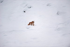 Wild Eurasian lynx (Lynx lynx) walking through in snow, Switzerland. March. Contact us to download file � minimum fees apply.  -  Laurent Geslin