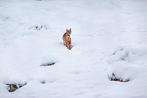 Wild Eurasian lynx (Lynx lynx) in snow, Switzerland. March. Contact us to download file � minimum fees apply.  -  Laurent Geslin