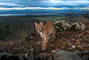 Wild European  lynx (Lynx lynx) male passing by a camera trap, with a city in the background. Switzerland, February. Contact us to download file � minimum fees apply.  -  Laurent Geslin