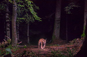 Wild European lynx (Lynx lynx) walking at night, Jura Mountains, France. August. Contact us to download file - minimum fees apply.  -  Laurent Geslin