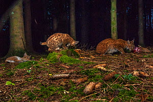 Wild European lynx (Lynx lynx) mother with cubs feeding at night. Jura, France.  Contact us to download file - minimum fees apply.  -  Laurent Geslin