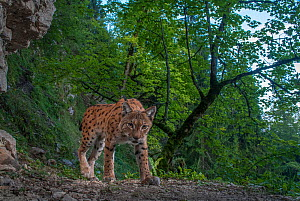 Wild Eurasian lynx (Lynx lynx) Jura mountains, Switzerland, September.  Contact us to download file � minimum fees apply.  -  Laurent Geslin