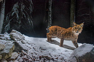 Wild European lynx (Lynx lynx) Jura Mountains, Switzerland, January. Contact us to download file � minimum fees apply.  -  Laurent Geslin