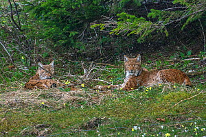 Wild European lynx (Lynx lynx) female and male in late April.  Jura Mountains, Switzerland. April. Contact us to download file � minimum fees apply.  -  Laurent Geslin