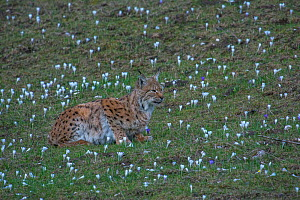 Wild female European lynx (Lynx lynx) with her juvenile, Jura Mountains, Switzerland. April. Contact us to download file � minimum fees apply.  -  Laurent Geslin