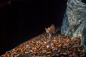 Wild European lynx (Lynx lynx) at night, Jura Mountains, Switzerland. December. Contact us to download file � minimum fees apply.  -  Laurent Geslin