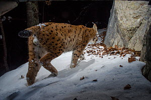 Wild European lynx (Lynx lynx) walking, Jura, Switzerland. December. Contact us to download file � minimum fees apply.  -  Laurent Geslin