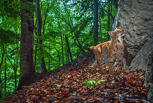 Wild european lynx (Lynx lynx) smelling rock, Jura, Switzerland. Contact us to download file � minimum fees apply.  -  Laurent Geslin