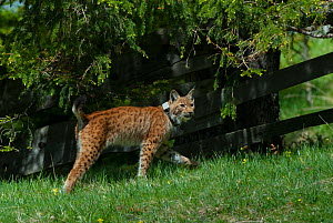 Wild Eurasian lynx (Lynx lynx) with radio collar Switzerland, May. Contact us to download file - minimum fees apply.  -  Laurent Geslin