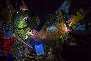 Scientists from KORA examining sedated wild Eurasian lynx (Lynx lynx) at night, captured to translocate to Austria. Switzerland, March. - Laurent Geslin
