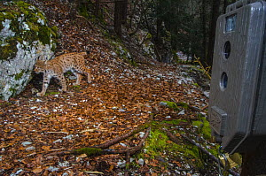 Wild Eurasian lynx (Lynx lynx) walking in woodland with remote camera, Jura Mountains Switzerland. April. Contact us to download file � minimum fees apply.  -  Laurent Geslin
