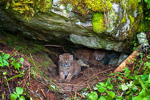 Wild European lynx (Lynx lynx) kittens age three weeks in den, Simmental Valley, Switzerland. June. Contact us to download file � minimum fees apply.  -  Laurent Geslin