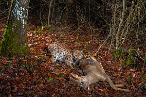Wild Eurasian lynx (Lynx lynx) with Roe deer (Capreolus capreolus) kill in woodland. Jura Mountains, Switzerland, January. Contact us to download file � minimum fees apply.  -  Laurent Geslin