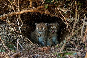 Wild European lynx (Lynx lynx) two kitten age three weeks in den, picture taken during tagging by biologists from KORA, Simmental Valley, Switzerland. June Contact us to download file � minimum fees a...  -  Laurent Geslin