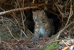 Wild European lynx (Lynx lynx) kitten age three weeks in den, picture taken during tagging by biologists from KORA, Simmental Valley, Switzerland. Contact us to download file - minimum fees apply.  -  Laurent Geslin