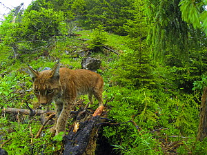 Wild female European lynx (Lynx lynx) coming to move her kittens to another den after the biologists from KORA have tagged them with a microchip. Switzerland, June. Contact us to download file � minim...  -  Laurent Geslin