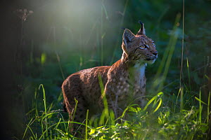 Wild Eurasian lynx (Lynx lynx)  Switzerland. August  Contact us to download file - minimum fees apply.  -  Laurent Geslin