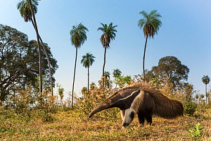 Giant anteater (Myrmecophaga tridactyla) foraging in palm savannah grasslands. Southern Pantanal, Moto Grosso do Sul State, Brazil. September.  -  Nick Garbutt
