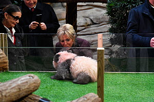 Brigitte Macron, wife of the French president, and Françoise Delord, founder of the Beauval ZooParc, looking at panda cub Yuan Meng (Ailuropoda melanoleuca) at naming ceremony of the 4-month-old pa...  -  Eric Baccega