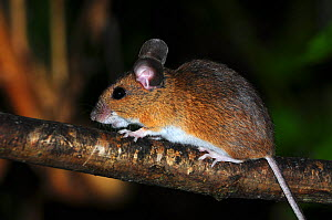 Wood mouse (Apodemus sylvaticus) climbing on hazel branch. Dorset, UK, September.  -  Colin Varndell